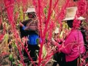 la quinua-y-su-exportacion