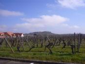 vinos-franceses-riesling